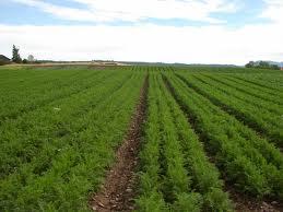 A Carrot Field