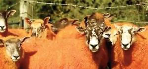ginger sheep